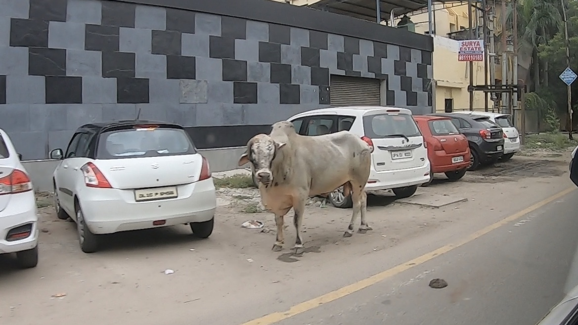 Roadside cow