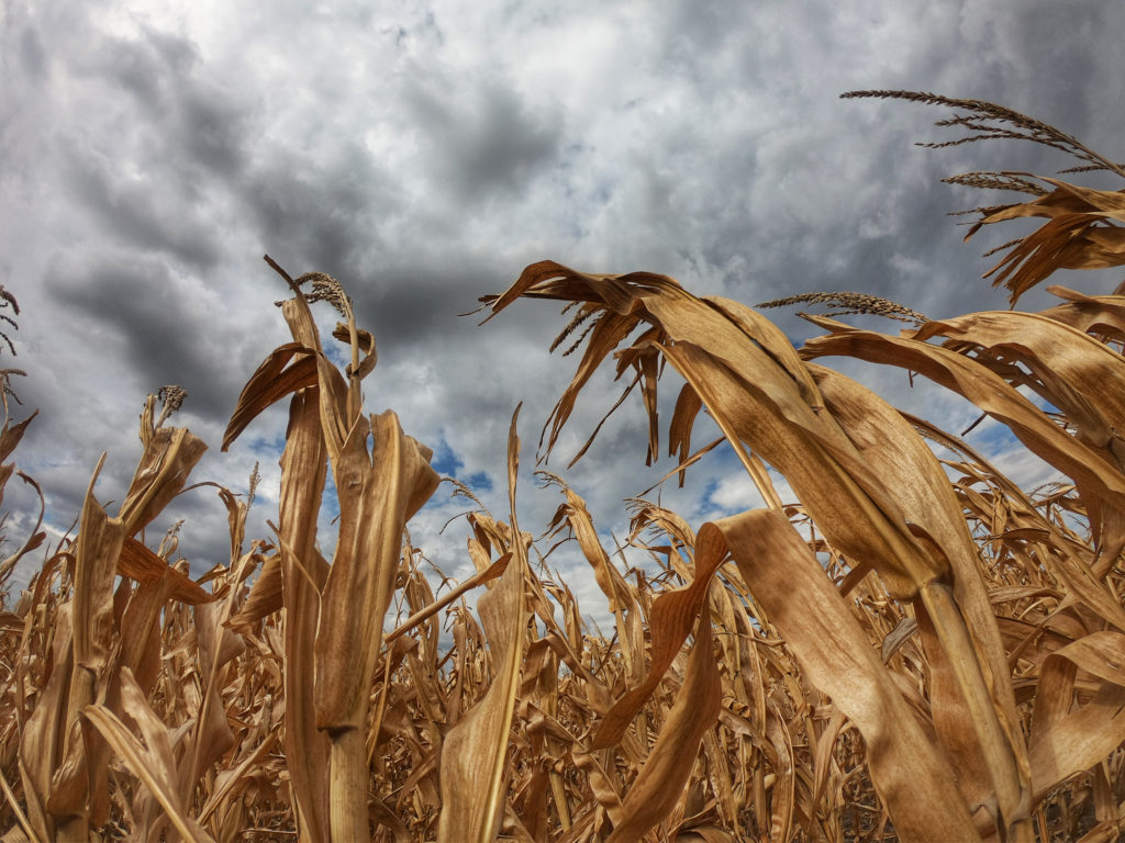Dry corn stalks against the summer sky